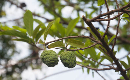 custard apple fruit: Double custard apple fruit on the tree