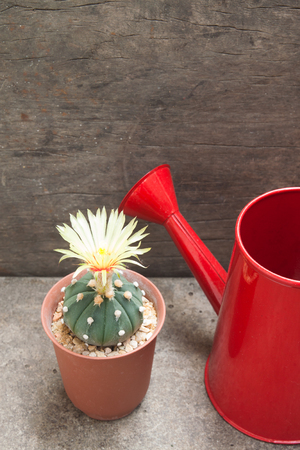 Cactus with blooming yellow flower and red watering can on concrete background
