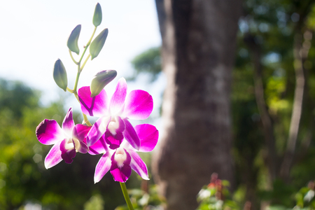 Beautiful pink orchid in Thailand