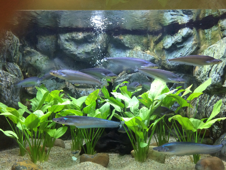 boxfish: Fishes and water plants in aquarium Stock Photo