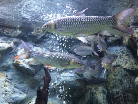 subaquatic: Big fishes in aquarium Stock Photo