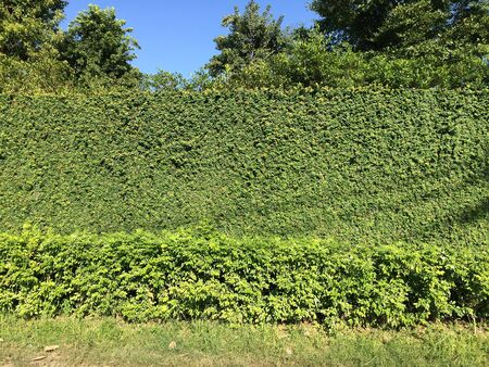 Natural gree leaves fence in modern house
