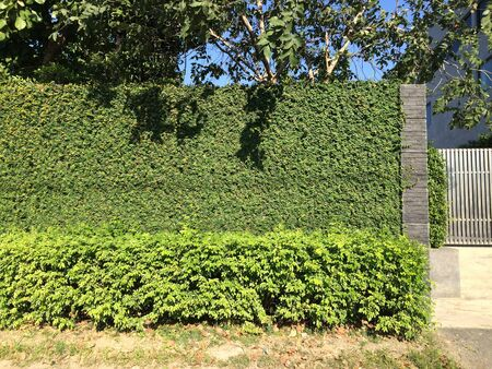 gree: Natural gree leaves fence in modern house