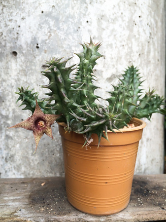 garden pot growing cactus with blooming flower