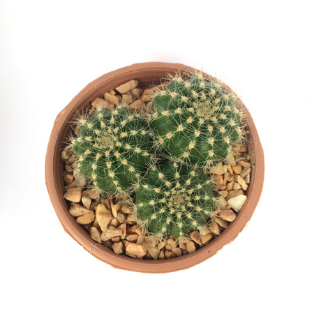 potted plant cactus: A pot of cactus isolated on white background