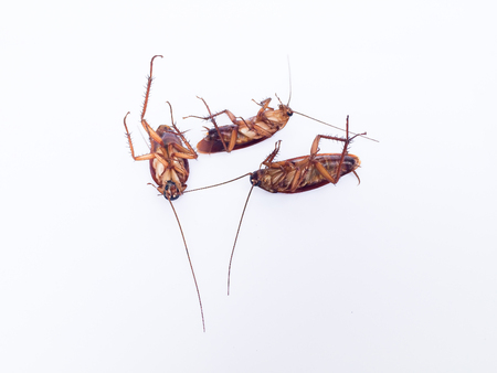 crawly: cockroach is dead on white background