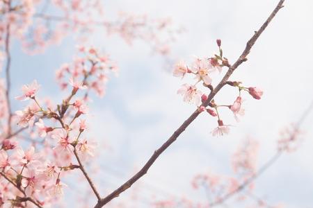 Spring sakura cherry blossom Stock Photo