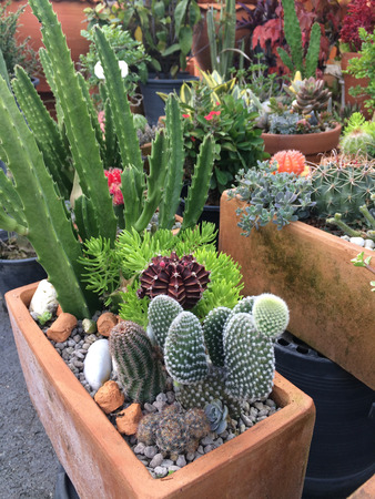 Variety of pot plant cactus in open market Stock Photo
