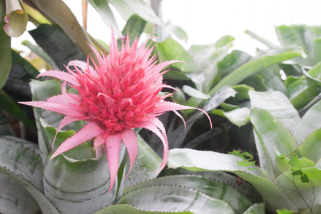Pink bromeliad on green leaf background
