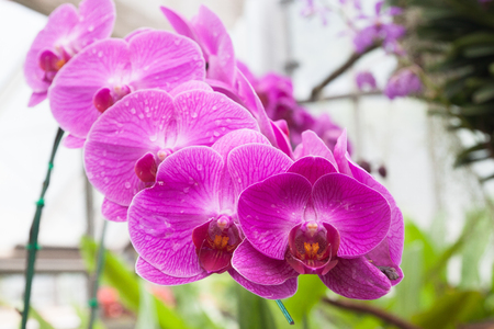 Beautiful orchid, phalaenopsis in the glass house