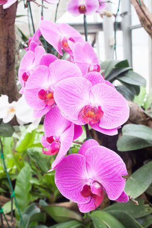 orchid house: Beautiful orchid, phalaenopsis in the glass house