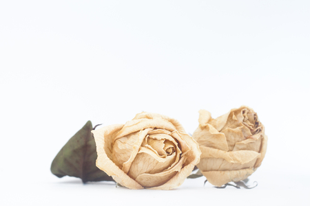 Dried rose flower on white background with copy space Stock Photo