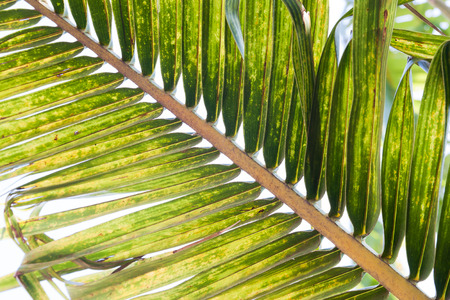 Texture of coconut leaves, Nature background Stock Photo