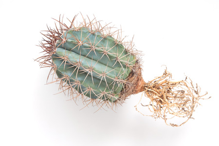 Cactus with bare roots isolated on white background