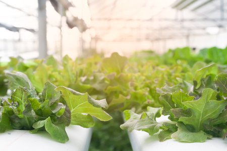 Fresh and growing hydroponic salad vegetables in greenhouse with sun light