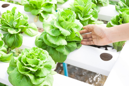 Woman hand on fresh hydroponics butter head in farm Stock Photo