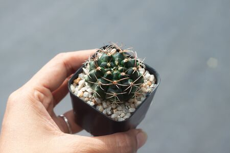 Woman hand holding a pot of Gymnocalicium Cactus