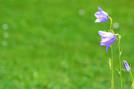 blue bellflower, greeting card with green background