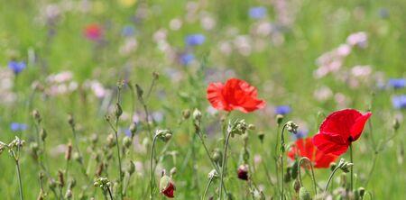 background wildflower meadow mit corn poppy