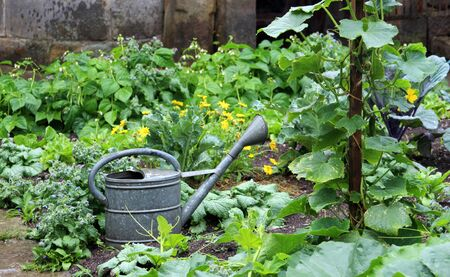 vegetable garden with a retro watering can made of zinc Stok Fotoğraf