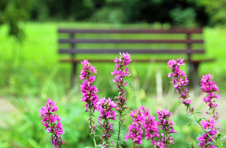 tranquil scene, purple loosestrife in front of a bench in a green park