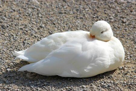 white duck sitting on gravel in sunlight, nearly asleep