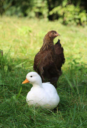white duck sitting in grass on a sunny day, brown hen behind the duck