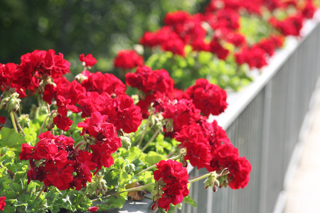 row of red geraniums on a railing, sunlight, outdoors Imagens