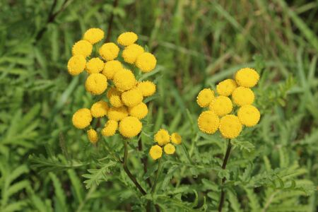yellow wildflowers in a meadow, tansy, Tanacetum vulgare