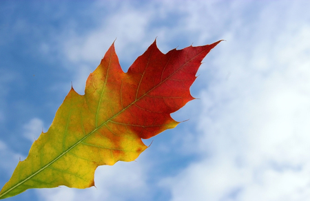autumn leaf of an American oak (Quercus rubra) against blue sky Stock Photo