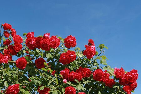 red climbing rose in front of blue sky, in sunlight