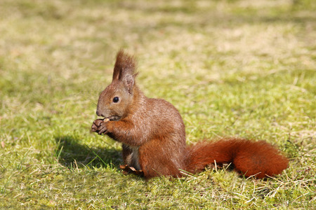 red squirrel holding a a nut and sitting on grass in sunlight