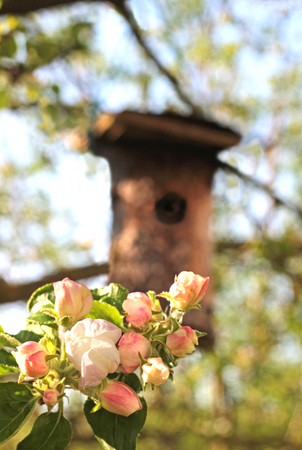 springtime: apple blossoms and a nesting box on the tree