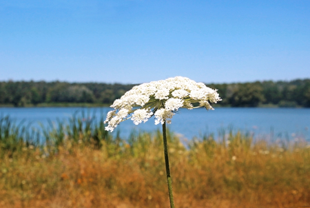 summer at the lake, landscape with wildflower in foreground Imagens