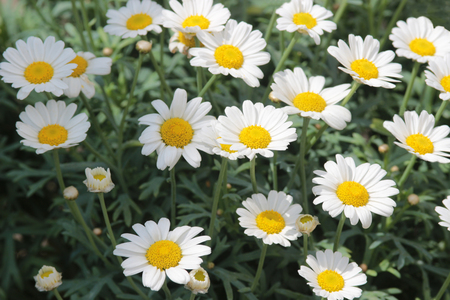 small marguerites blooming in the garden, close-up, high angle view