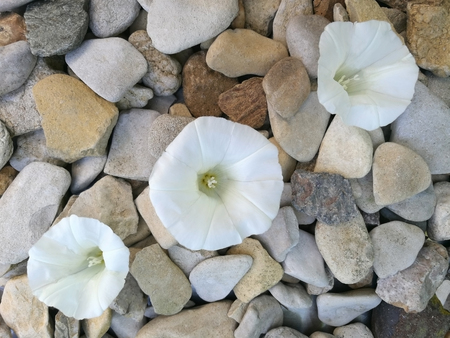 three white vetches blossoms on pebbles, meditative background