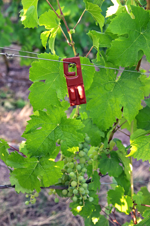 pheromone dispenser on a vine plant in a vine yard, sexual confusion method against the European grape berry moth