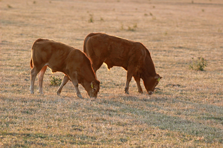 two Limousin calfs grazing side by side on a dry pasture, back lit, at sunset