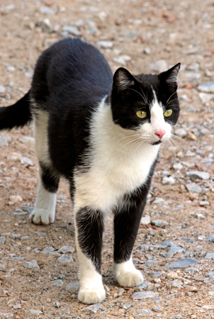 cute black and white cat standing on a gravel path, looking attentively Stock Photo