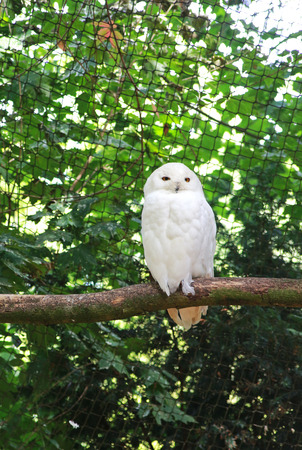 pure white snowy owl sitting on a branch in an aviary, green background