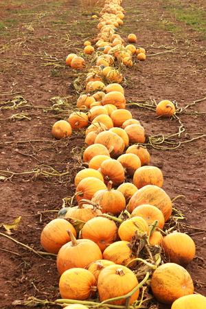 harvest of pumpkins on a field, long row of orange colored pumpkins