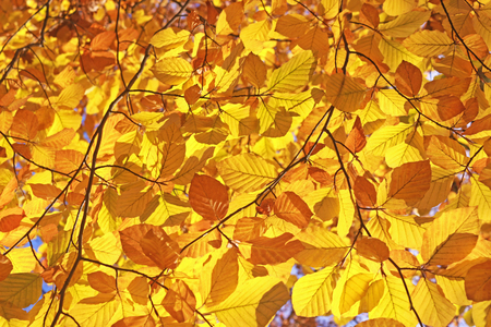 canopy of gold colored beech leaves in autumn, close-up