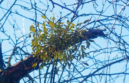 Mistletoes on a bare tree in sunlight Foto de archivo