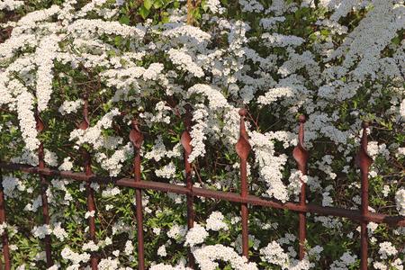 white blooming spirea bush growing beside a rusty metal fence