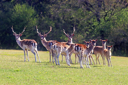 herd of fallow deer on a pasture, animals looking at camera
