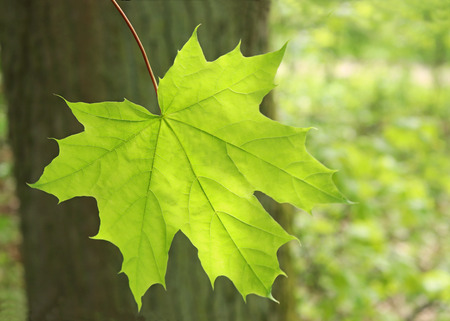 springtime, close-up of a green maple leaf in front of a tree trunk, back lit