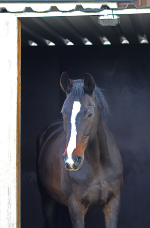 portrait of a beautiful young brown horse standing in the open door of its stable Standard-Bild - 124868615