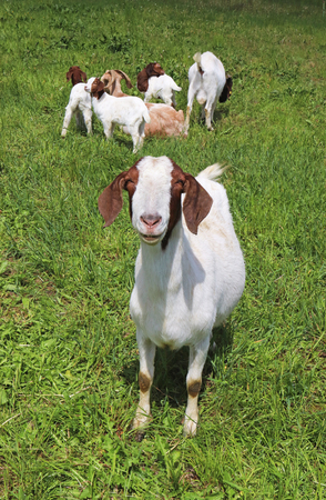 boar goat on a green pasture looking at camera, goats and kids in the background Stock Photo