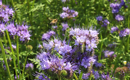 flying honey bee in a blue blooming phacelia field, beauty in nature Stock Photo