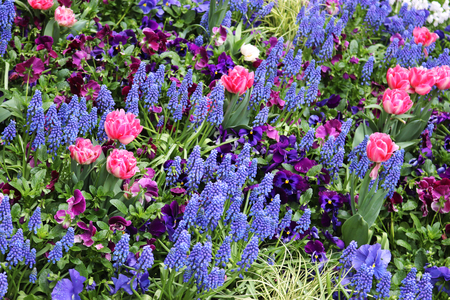 Flowerbed with multicolored springtime blossoms like tulip, pansy and grape hyacinth Banco de Imagens